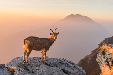 CLKGM93578 Goat at sunrise in the mountains of Due Mani mount. Valsassina, Lecco, Lombardy, Italy