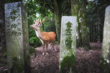 CLKMG92647 Male deer in Nara, Honshu, Japan