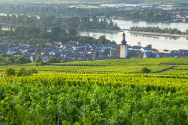 GER11067AW Vineyards and River Rhine, Rudesheim, Rhineland-Palatinate, Germany