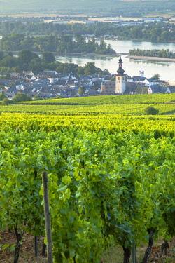 GER11068AW Vineyards and River Rhine, Rudesheim, Rhineland-Palatinate, Germany