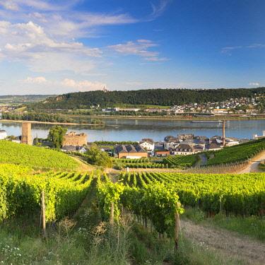 GER11084AW Vineyards and River Rhine, Rudesheim, Rhineland-Palatinate, Germany