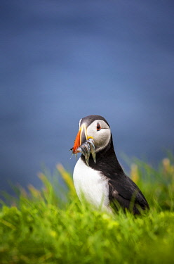 DEN0381AW Puffin bird with catch in Mykines, Faroe Islands, Europe with catch in Mykines, Faroe Islands, Europe