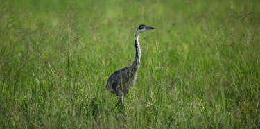Tanzania, Ngorongoro Crater, The Manor, Elewana Collection, a black headed heron stalkes through the lush grass on the crater floor.