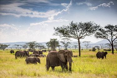 TZ3826 Pioneer Camp, Serengeti, Tanzania, Elewana Collection, a small herd of elephant make their way across the plains.