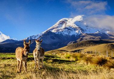 ECU1405AW Donkeys and Chimborazo Volcano, Chimborazo Province, Ecuador