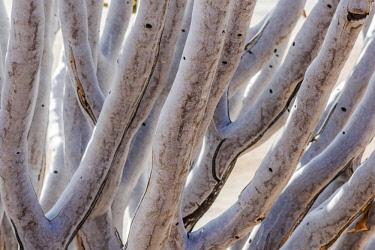 NAM6587AW Africa, Namibia, Namib Rand area. Quiver Tree
