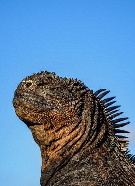 GAL0287AW Marine iguana (Amblyrhynchus cristatus), San Cristobal or Chatham Island, Galapagos, Ecuador