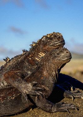 GAL0289AW Marine iguanas (Amblyrhynchus cristatus), San Cristobal or Chatham Island, Galapagos, Ecuador