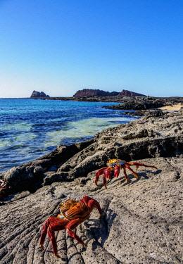 GAL0209AW Sally Lightfoot Crab (Grapsus grapsus), Sullivan Bay, Santiago or James Island, Galapagos, Ecuador