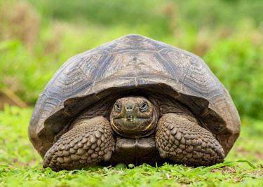 GAL0192AWRF Giant Tortoise, El Chato, Highlands of Santa Cruz or Indefatigable Island, Galapagos, Ecuador