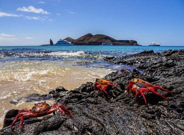 GAL0179AWRF Sally Lightfoot Crab (Grapsus grapsus), Sullivan Bay, Santiago or James Island, Galapagos, Ecuador