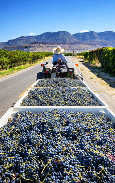 US13289 USA, Colorado, , Mesa County, Town Of Palisade In The Grand Valley, Farmer Transporting Wine Grapes To Winery