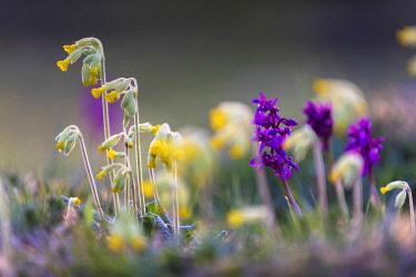 ENG15990 Wildflowers on the edge of Wharfe Wood, Austwick