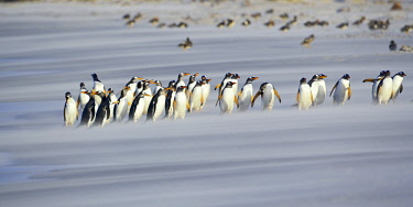 FAL0681AWRF A line of Gentoo penguins (Pygoscelis papua) walking on the beach, Sea Lion Island, Falkland Islands,