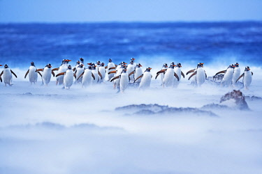 FAL0690AW Gentoo Penguins (Pygocelis papua papua) walking through a sandstorm, Sea Lion Island, Falkland Islands,