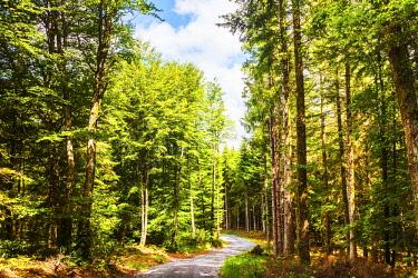 FRA10807 France, Occitanie, La Salvetat sur Agout region. Trees in the forest of the region of La Salvetat sur Agout in Occitanie on the trail of the Via Tolosana towards Santiago de Compostela.