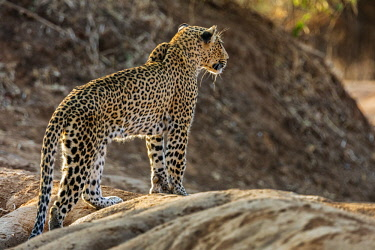 ZAM8145 Zambia, Lower Zambezi National Park, Lusaka Province.  A Leopard watches intently for its prey.
