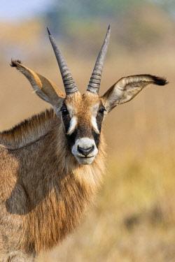 ZAM8156 Zambia, Kafue National Park, Busanga Plains.  A Roan antelope.