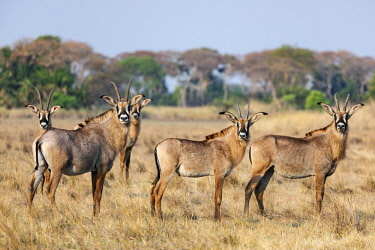 ZAM8158 Zambia, Kafue National Park, Busanga Plains.  A herd of Roan antelope.