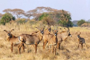 ZAM8159 Zambia, Kafue National Park, Busanga Plains.  A herd of Roan antelope.
