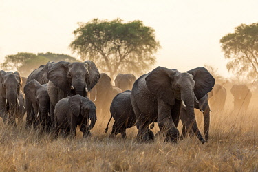ZAM8162 Zambia, Kafue National Park, Busanga Plains.  A herd of elephants led by a matriarch on the move in the late afternoon
