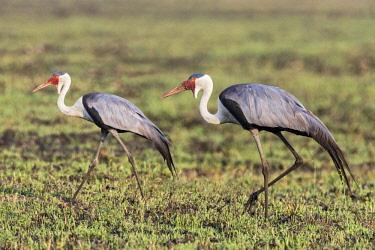 ZAM8168 Zambia, Kafue National Park, Busanga Plains.  A pair of Wattled Cranes.