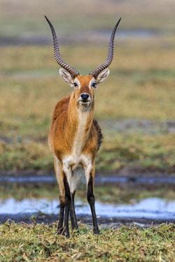 ZAM8181 Zambia, Kafue National Park, Busanga Plains.  A fine male Red Lechwe.