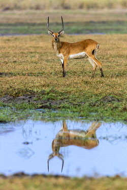 ZAM8182 Zambia, Kafue National Park, Busanga Plains.  A male Red Lechwe reflected in a pool of water.