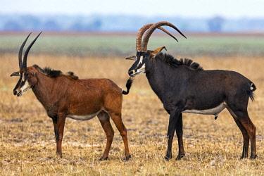 ZAM8184 Zambia, Kafue National Park, Busanga Plains.  A male and female Sable Antelope.
