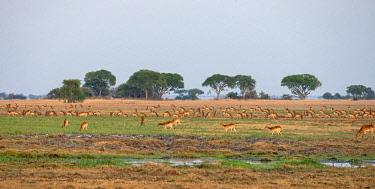 ZAM8189 Zambia, Kafue National Park, Busanga Plains.  Large herds of Puku and Red Lechwe graze on Busanga Plains.
