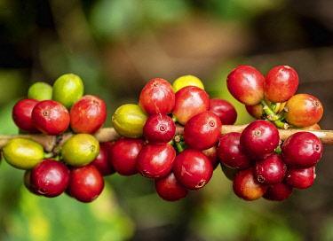 COL0402AWRF Coffea Cherries, Coffee Triangle, Salento, Quindio Department, Colombia