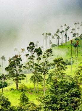 COL0732AW Wax Palms (Ceroxylon quindiuense), Cocora Valley, Salento, Quindio Department, Colombia