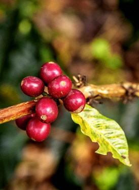 COL0737AW Coffea Cherries, Coffee Triangle, Salento, Quindio Department, Colombia