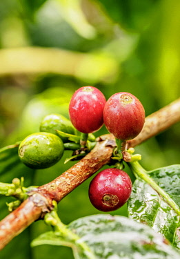 COL0744AW Coffea Cherries, Coffee Triangle, Salento, Quindio Department, Colombia