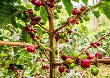 COL0753AW Coffea Cherries, Coffee Triangle, Salento, Quindio Department, Colombia