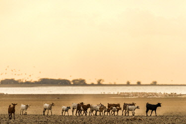TZ3997AW Africa, Tanzania, Northern part. A goat herd heading home at sunset at Lake Eyasi.