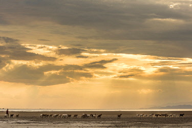 TZ3998AW Africa, Tanzania, Northern part. A goat herd with a shepherd heading home at sunset at Lake Eyasi.