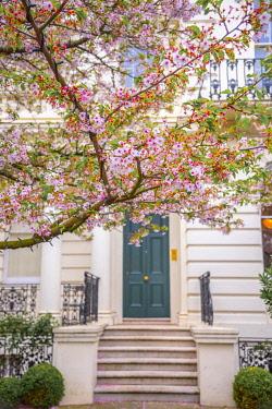 UK11618 UK, England, London, Notting Hill, Ladbroke Grove, Cherry Blossom