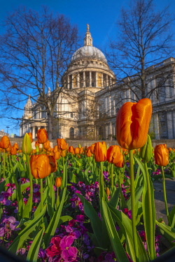 UK11634 UK, England, London, St. Paul's Cathedral in Springtime, tulips