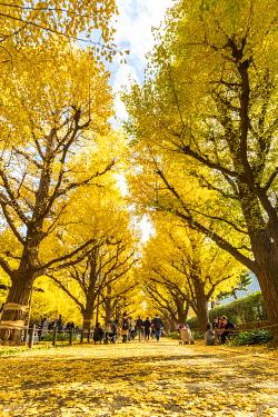 JAP1480AW Jinkgo trees at Meiji Jingu Gaien avenue, Tokyo, Kanto region, Japan.
