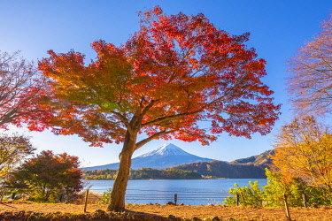 JAP1519AW Fuji Five Lakes, Yamanashi Prefecture, Japan. Maple tree and Mt Fuji in autumn.
