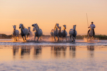 FRA11063AW White Wild Horses of Camargue running on water, Aigues Mortes, Southern France