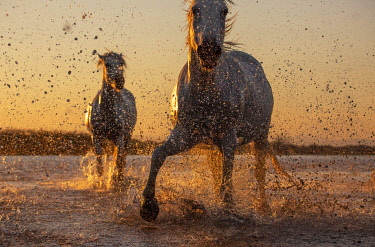FRA11068AW White Wild Horses of Camargue running on water, Aigues Mortes, Southern France