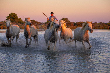 FRA11070AW White Wild Horses of Camargue running on water, Aigues Mortes, Southern France