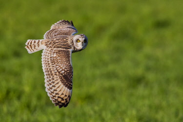 CLKCC96323 Short-eared owl in flight on the fields, Parma province, Emilia Romagna district, Italy, Europe