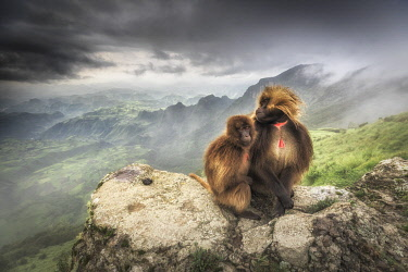 CLKMG95770 a pair of Gelada baboon in Simien Mountains National Park, Northern Ethiopia