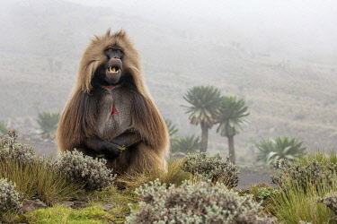 CLKMG95774 Gelada baboon in Simien Mountains National Park, Northern Ethiopia