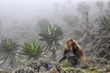 CLKMG95776 Gelada baboon and giant lobelia in Simien Mountains National Park, Northern Ethiopia