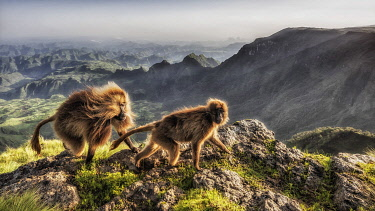 CLKMG95778 Gelada baboon in Simien Mountains National Park, Northern Ethiopia
