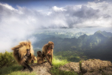 CLKMG95785 Gelada baboon family in Simien Mountains National Park, Northern Ethiopia